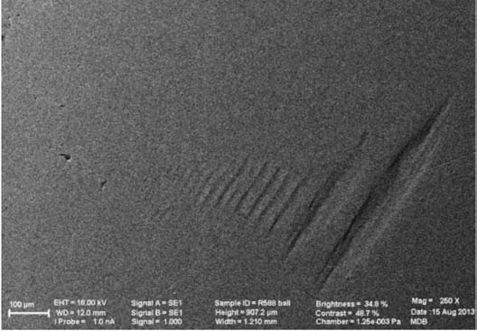 Figure 5. SEM imaging of approximately 50µm grooves in head's polar region.